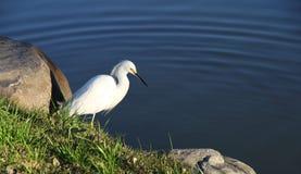 Малая белая цапля на чисто озере. Стоковая Фотография RF
