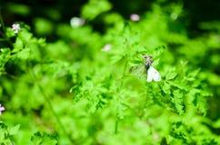Малая белизна бабочки капусты на цветке Стоковые Фотографии RF