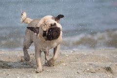 Малая влажная собака на пляже Стоковое фото RF