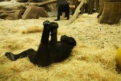Малая горилла горы сидя в листьях Стоковое Изображение