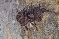 Малая группа в составе, который Длинн-подогнали летучая мышь усыпальницы ( Стоковое Изображение