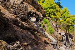 Малая ель растет на горных склонах над дорогой tenerife горы острова облаков Стоковое фото RF