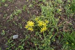 Малая желтая звезда сформировала цветки с зелеными листьями Стоковое Изображение