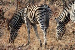 Малая зебра Стоковая Фотография