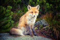 Малая лиса в природе Стоковая Фотография