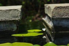 Малая лилия белой воды отражая среди пусковых площадок лилии Стоковое фото RF