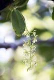 Малая и чувствительная зеленая орхидея в своей среде обитания Стоковое Изображение RF