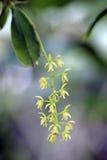 Малая и чувствительная зеленая орхидея в своей среде обитания Стоковая Фотография