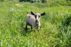 Малая коза быть осторожным смотрит камеру пока оно пася на a Стоковое фото RF