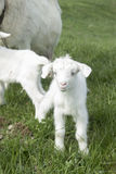 малая коза пася на поле Стоковая Фотография