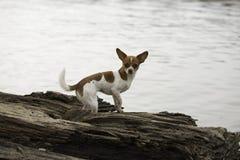 Малая коричневая и белая собака стоковая фотография rf