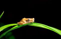 Малая коричневая лягушка Стоковое Изображение RF