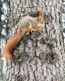 Малая красная белка с кустовидным кабелем на стволе дерева держа гайку внутри стоковые фотографии rf