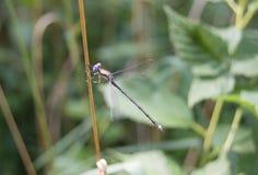 Малая муха дракона Стоковые Изображения RF