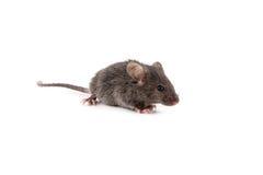Малая мышь стоковая фотография