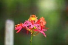 Малая оранжевая орхидея oncidium Стоковое Изображение RF
