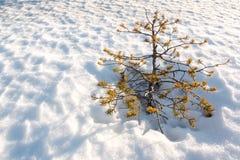 Малая останавливанная рост сосна растя на снеге Стоковое Изображение RF