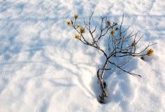 Малая останавливанная рост сосна с тенями на крышке снега на нордической трясине Стоковые Изображения