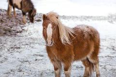 Малая лошадь пони на снеге в зиме Стоковые Фотографии RF