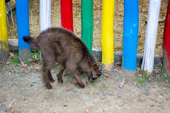 Малая одичалая коза Стоковые Изображения RF