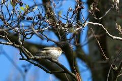 Малая певчая птица вербы Стоковое Изображение