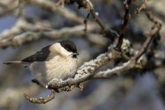 Малая птица - грех Poecile синицы болота E стоковые фото