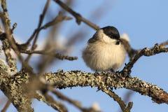 Малая птица - грех Poecile синицы болота E стоковое фото