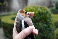 Малая птица клюет палец руки человека Стоковое фото RF