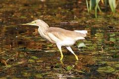 Малая птица цапли на болоте в перепаде Дуная Стоковое Изображение RF