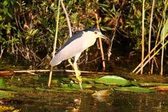 Малая птица цапли стоя на ветви в перепаде Дуная Стоковое Фото