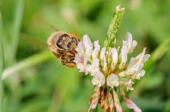Малая пчела меда Стоковая Фотография RF