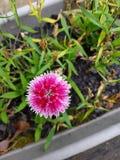 Малая розовая гвоздика Стоковое фото RF