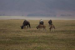 Малая семья антилоп гну пася стоковое изображение