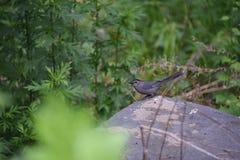 Малая серая птица Стоковая Фотография RF