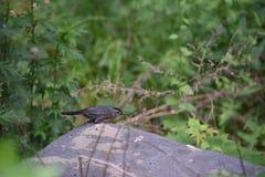 Малая серая птица Стоковое Фото