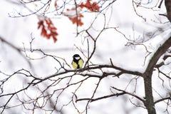 Малая синица птицы на покрытых снег ветвях Стоковая Фотография