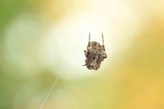 Малая смертная казнь через повешение паука на паутине Стоковая Фотография RF
