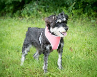 Малая смешанная собака породы в проводке Стоковое фото RF