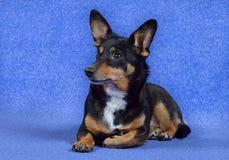 Малая собака с большими ушами! Стоковая Фотография