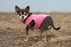 Малая собака с розовой рубашкой стоковые изображения rf