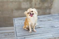 Малая собака чихуахуа коричневого цвета тела сидя на деревянной таблице Стоковое Изображение