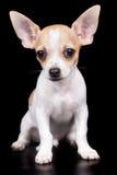 Малая собака чихуахуа стоя и смотря камера Стоковая Фотография