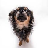 Малая собака Стоковые Изображения RF