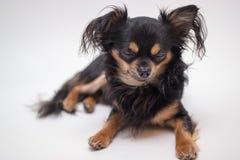 Малая собака Стоковые Фото