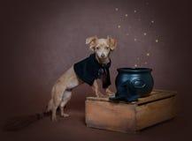 Малая собака russet в костюме ведьмы Стоковая Фотография