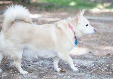 Малая собака Waling Стоковая Фотография
