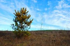 Малая сосна в поле на фоне неба Стоковые Фото