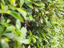 Малая стена с коричневыми ветвями, перспектива куста лист Стоковое Изображение RF