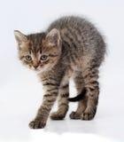 Малая стоимость котенка tabby сгабривая его заднюю часть на сером цвете стоковые изображения
