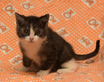 Малая темнота - серый цвет с белым котенком Стоковые Изображения